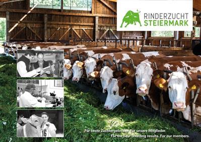 Rinderzucht Steiermark
